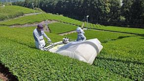 新茶の季節は家族総出でお茶摘みです。(写真提供:佐京園)