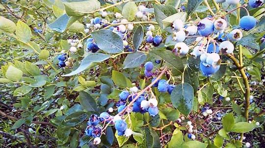ブルーベリーはツツジ科コケモモ属。同じ品種の花粉では受粉しないので、果樹園には複数の品種を混ぜて植えられ、出来た果実は一緒に収穫されます。
